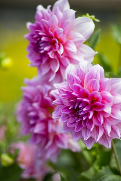 背景をぼかした写真と美しいピンクの花びらを持つダリアの花の垂直のクローズアップショット 無料写真