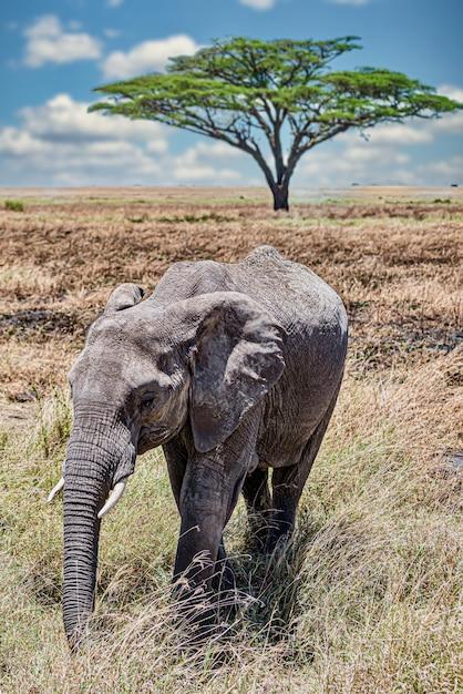 荒野の乾いた草の上を歩くかわいい象の垂直クローズアップショット 無料写真