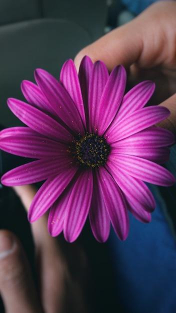 男の手に紫色のアフリカのデイジーの垂直クローズアップショット 無料写真
