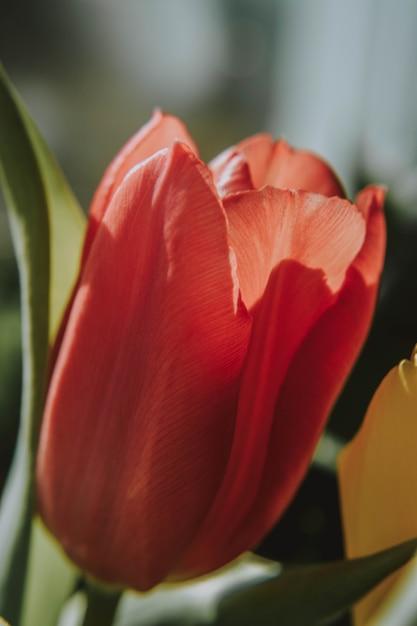 Вертикальный снимок крупным планом красный тюльпан цветок расцветает в солнечный день с размытым фоном Бесплатные Фотографии