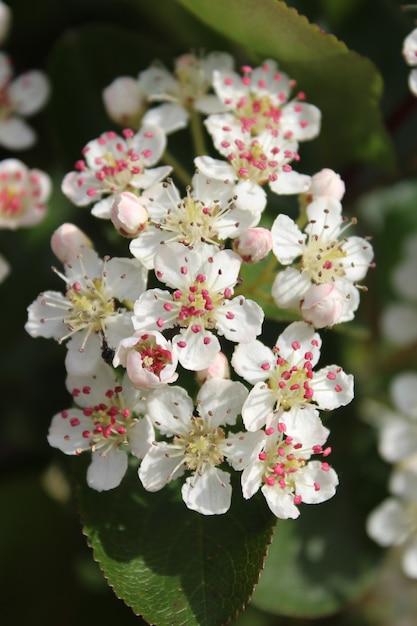 ぼやけた背景とアロニアの花の垂直クローズアップショット 無料写真