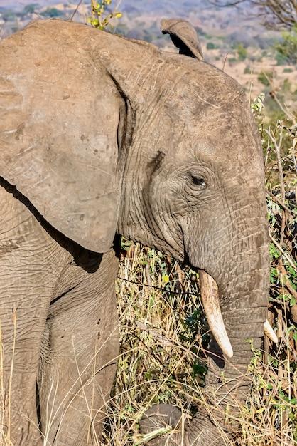 Вертикальный снимок головы милого слона в пустыне крупным планом Бесплатные Фотографии