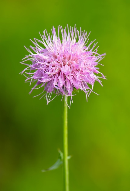 Vertical closeup shot of a pink spear thistle flower Free Photo