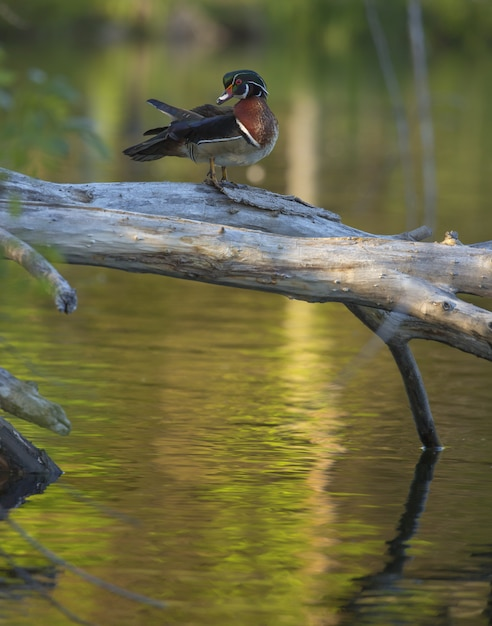 Vertical closeup shot of a wood duck standing on broken tree over the water Free Photo