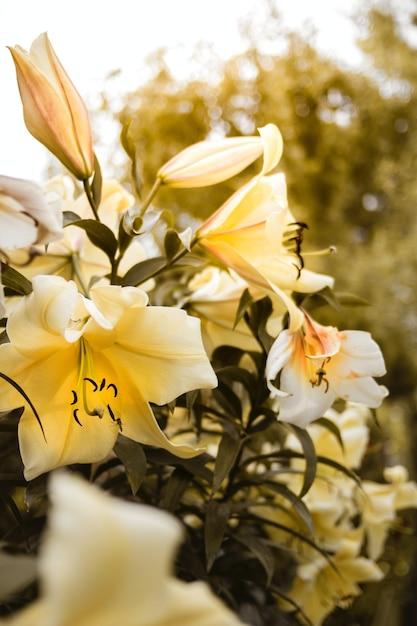 Colpo verticale del primo piano dei gigli gialli che crescono sul cespuglio Foto Gratuite