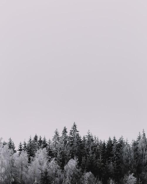 Colpo verticale in scala di grigi di splendidi pini coperti di neve Foto Gratuite