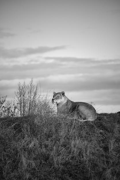 Colpo di gradazione di grigio verticale di un leone femminile che si trova nella valle sotto il cielo nuvoloso scuro Foto Gratuite