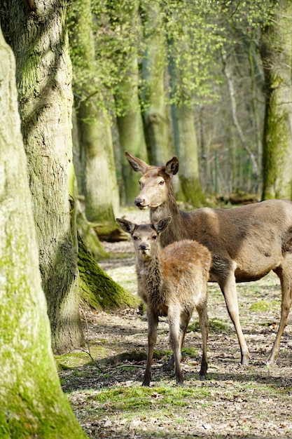 Vertical picture of two red deers surrounded by trees in a forest under the sunlight Free Photo