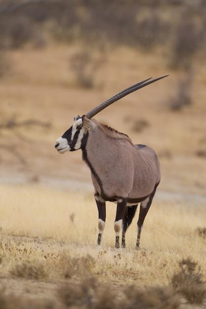 砂漠で捕獲されたジェムズボックの垂直選択焦点 無料写真
