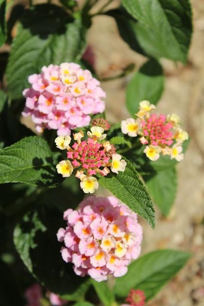 Colpo di messa a fuoco selettiva verticale di bellissimi fiori di lantana camara con uno sfondo sfocato Foto Gratuite