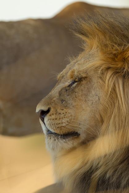 砂漠の壮大なライオンの垂直選択フォーカスショット 無料写真