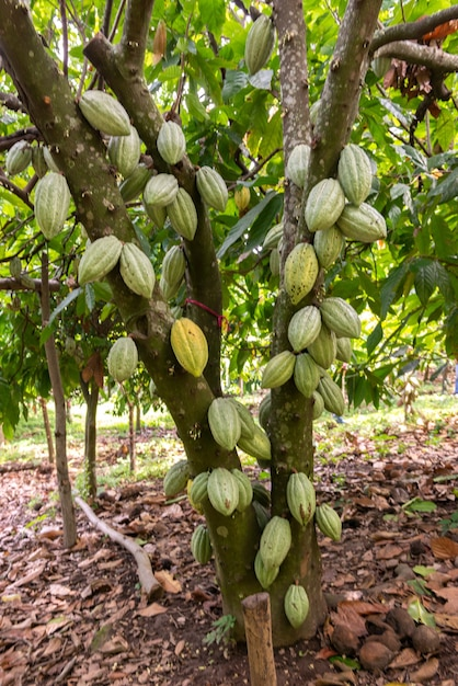 Vertical selective focus shot of theobroma cacao growing on a tree getting ready to become chocolate Free Photo