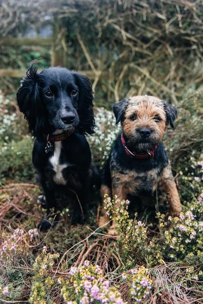 Colpo verticale di un border terrier e uno spaniel seduto sull'erba secca Foto Gratuite