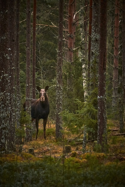 Vertical shot of a deer in the forest with tall trees during the daytime Free Photo