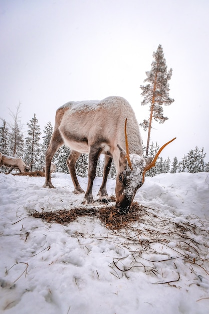 Vertical shot of a deer in the snowy forest in winter Free Photo