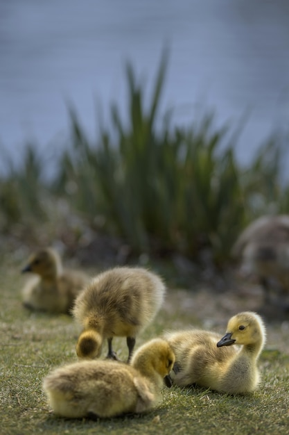 Vertical shot of a few ducks on a grass covered field by a lake Free Photo