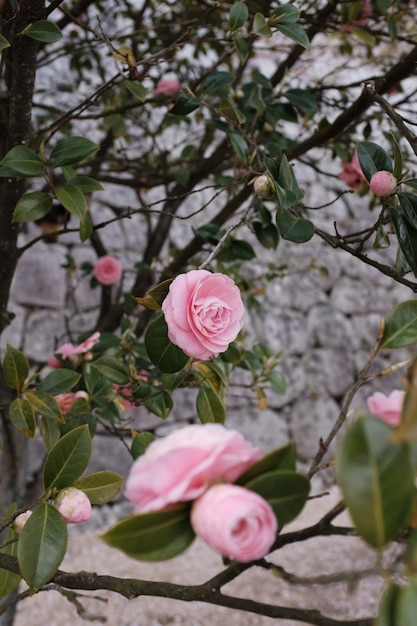 Vertical shot of a garden of pink roses with a blurry background Free Photo