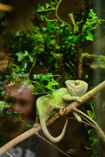 Colpo verticale di un camaleonte verde seduto su un ramo di albero Foto Gratuite