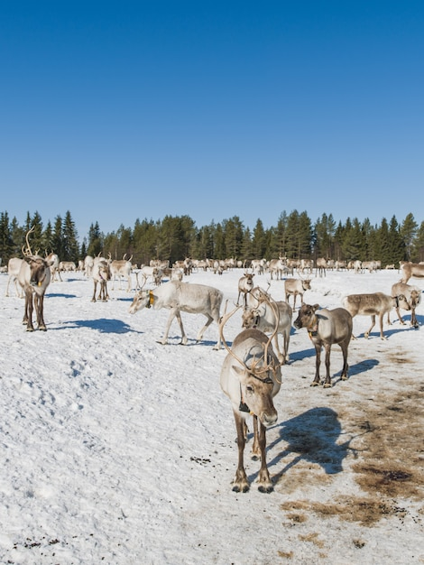 Vertical shot of a herd of deer walking in the snowy valley near the forest in winter Free Photo