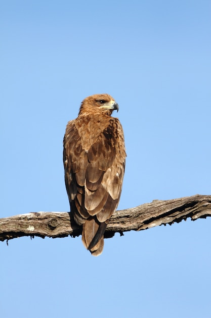 Vertical shot of a magnificent falcon sitting on a branch under the clear blue sky Free Photo