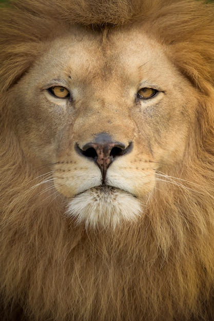 Vertical shot of a magnificent lion Free Photo