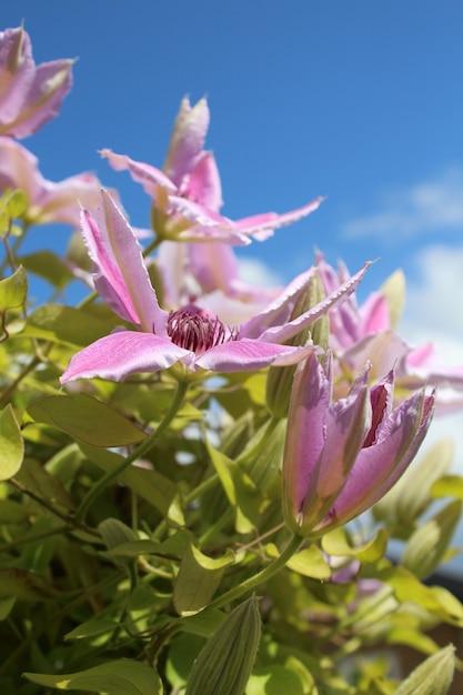 Вертикальный снимок цветка клематиса нелли мозер в поле под солнечным светом Бесплатные Фотографии