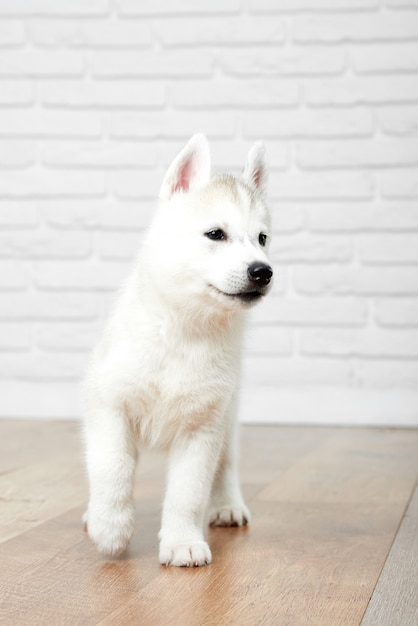 屋内動物ペットコンセプトを歩いてかわいいふわふわのシベリアンハスキー子犬の垂直方向のショット。 無料写真