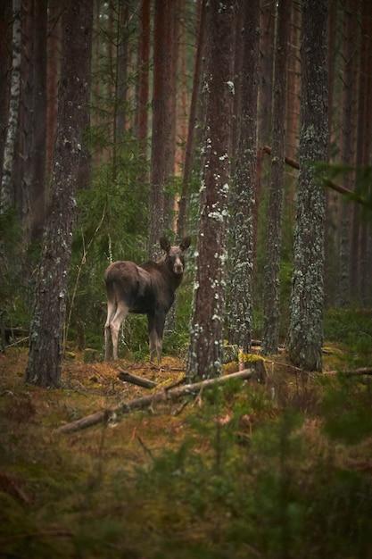 Вертикальный снимок оленя в лесу с высокими деревьями в дневное время Бесплатные Фотографии
