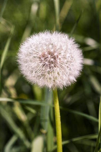 Вертикальный снимок сухого одуванчика в окружении травы Бесплатные Фотографии