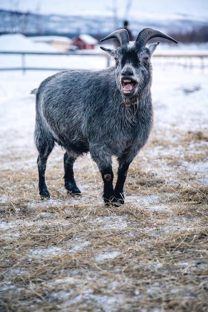 Вертикальный снимок козы с открытой пастью на севере швеции Бесплатные Фотографии