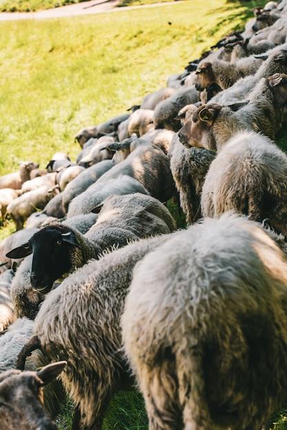 晴れた日に撮影された草で覆われたフィールドで放牧している羊の群れの垂直ショット 無料写真