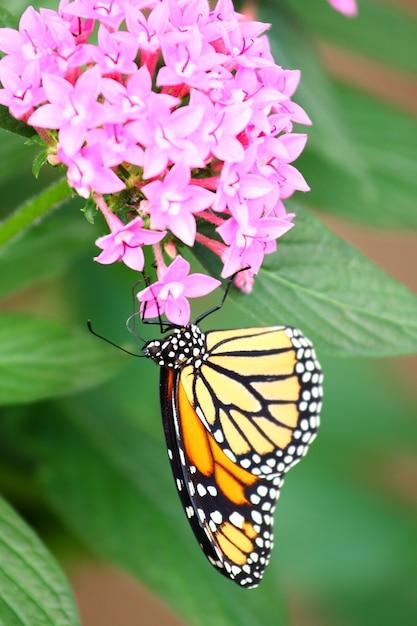 ピンクのサンタンの花を食べてモナーク蝶の垂直ショット 無料写真