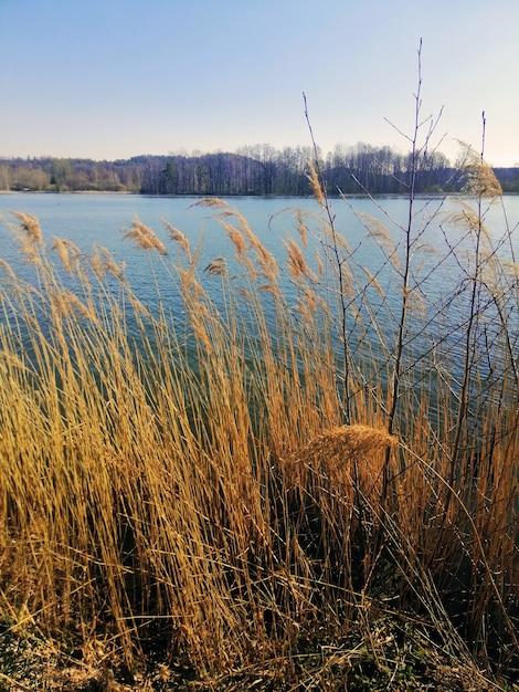 Вертикальный снимок камыша обыкновенного, растущего рядом с озером в еленя-гуре, польша. Бесплатные Фотографии