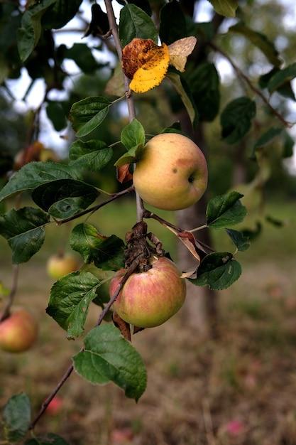 日中の庭で、木の上のおいしいリンゴの垂直ショット 無料写真