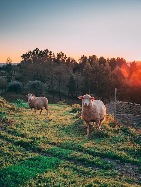背景の木と日没時に緑の野原で放牧している羊の垂直ショット 無料写真