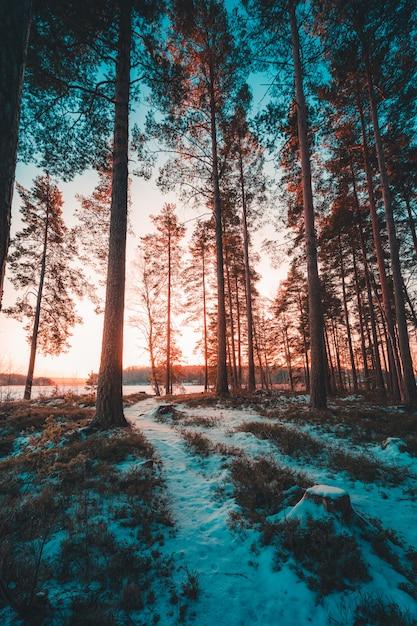 Вертикальный выброс высоких деревьев на заснеженном холме захвачен в швеции Бесплатные Фотографии