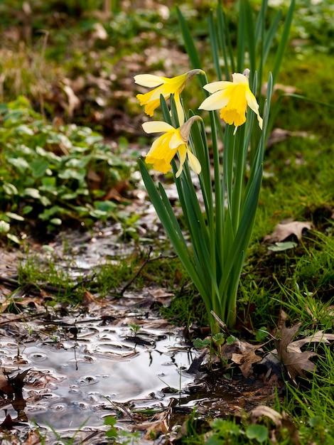 自然の中で3つの黄色のチューリップの垂直ショット 無料写真