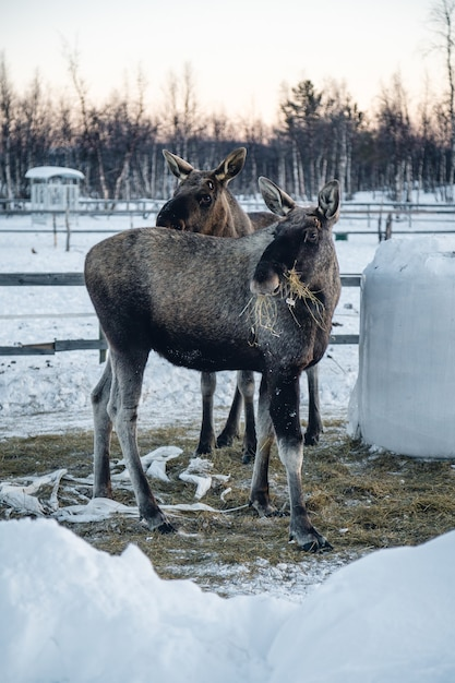 Вертикальный снимок двух лосей, поедающих сено, на севере швеции Бесплатные Фотографии