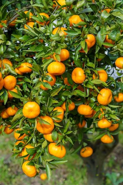 Colpo verticale di frutta arancione in un albero Foto Gratuite