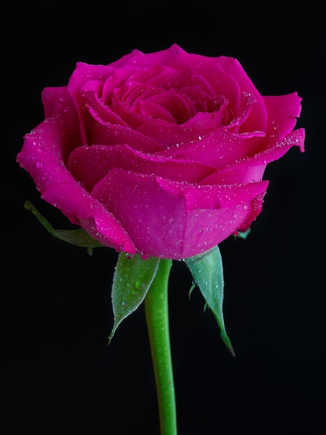 Vertical shot of a pink rose with dew on top on black Free Photo