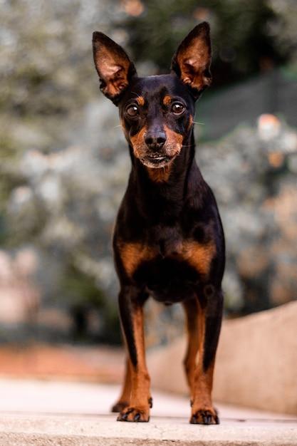 Vertical shot of a prague ratter dog Free Photo