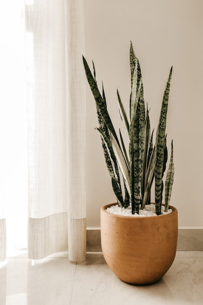 Vertical shot of a silver snake plant in a brown pot near white curtains Free Photo
