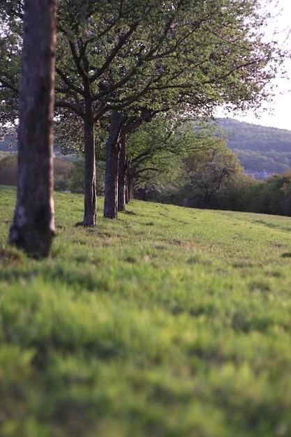 Colpo verticale di una fila di alberi circondata da erba Foto Gratuite