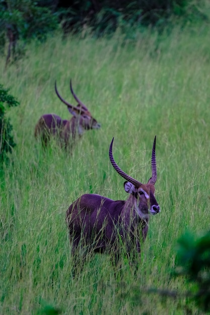 Vertical shot of two waterbuck in a grassy field Free Photo