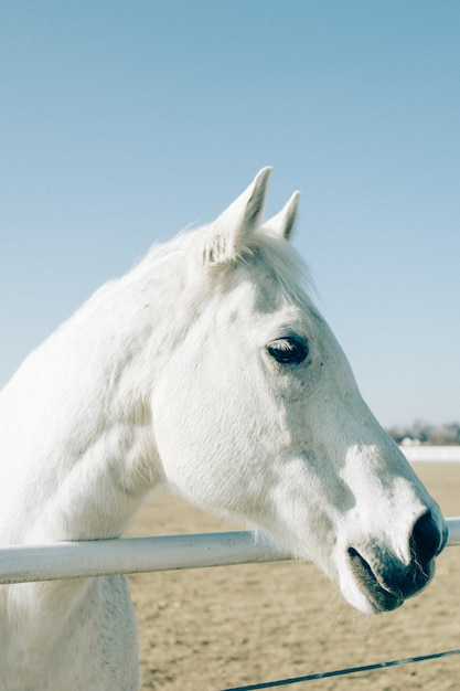 Colpo verticale di un bel cavallo bianco in piedi primo piano a una ringhiera metallica in un ranch Foto Gratuite