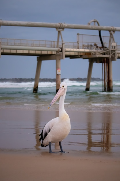 Colpo verticale di un pellicano bianco sulla spiaggia con il molo Foto Gratuite