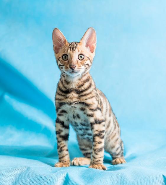 Colpo di studio verticale di un simpatico gattino bengala guardando dritto nella telecamera con backgroun blu Foto Gratuite