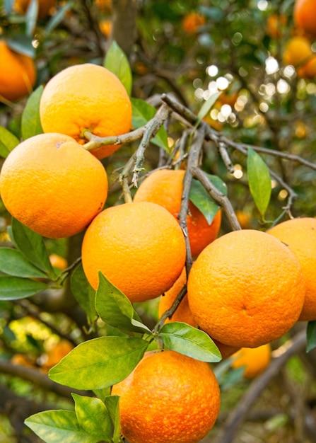 Vista verticale di arance belle e deliziose sull'albero in un giardino Foto Gratuite