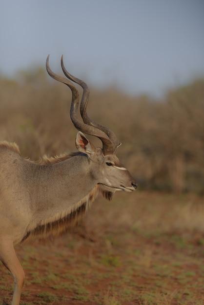 Vista verticale di un kudu dal lato con uno sfondo sfocato Foto Gratuite
