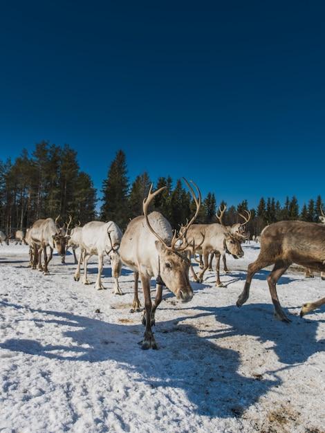 Вертикальный вид на стадо оленей, идущих в снежной долине возле леса зимой Бесплатные Фотографии